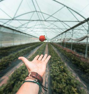 fraises-photo